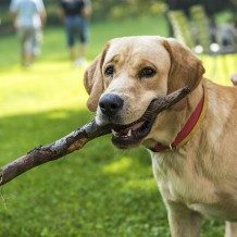 dog holding stick
