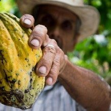 man picking cocoa bean for chocolate