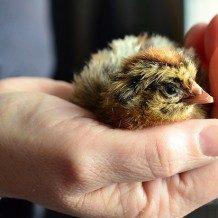 hand holding a baby chick