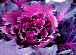 purple-vegetable--260x188.jpg