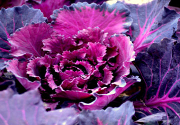 purple-vegetable--360x250.jpg
