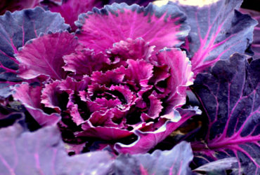purple-vegetable--370x250.jpg