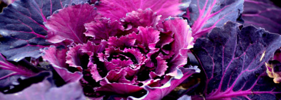 purple-vegetable--556x199.jpg