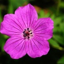 cranesbill flower ageless