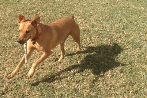 A cute tan dog fetching a stick